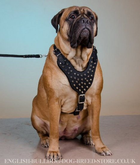Cones Studded Leather Dog Harness for Bullmastiff Walks