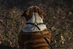 Rolled Leather Dog Choke Collar, English Bulldog Good Behavior