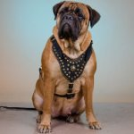 Bullmastiff Leather Harness Luxury Brass Studded & Nappa Padded