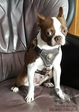 Bestseller! Boston Terrier Harness of Nappa Padded Leather, Royal Design