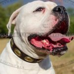 American Bulldog Dog Collar Retro Style with Oval Brass Plates
