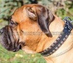 Bullmastiff Collar Leather with Studs in Caterpillar Design