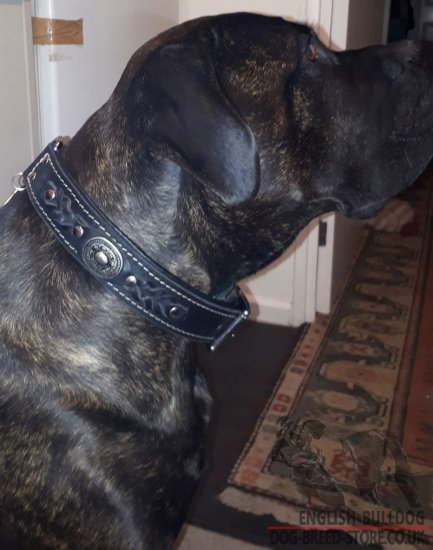 English Bulldog Leather Collar with Royal Nickel Hardware