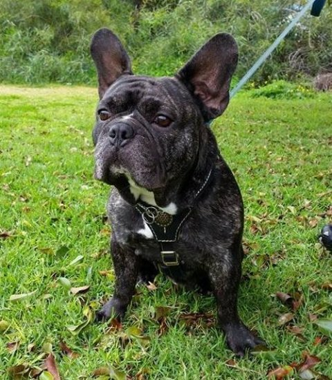 Bestseller! Royal Leather Dog Harness for French Bulldog Walking in Style