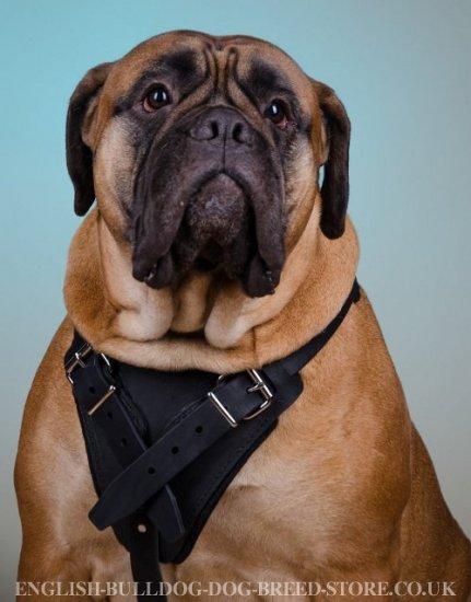 Bullmastiff Harness of Strong Leather for Training and Working