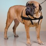 Bullmastiff Weight Pulling Harness of Leather, Sporting Dog Gear