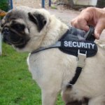 Pug Dog Harness, Nylon with Reflective Strap and Patches