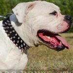 American Bulldog Collar Spiked Design Leather for Daily Outings