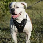 Padded Dog Harness of Genuine Leather for American Bulldog