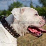 American Bulldog Collar Leather with Caterpillar Design Studs