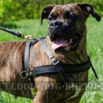 Boxer Dog Harness Pulling, Tracking and Walking