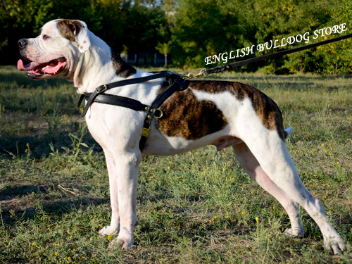 Pulling Harness for American Bulldog
