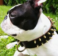 Spiked Leather Dog Collar for Boston Terrier, Brass Hardware