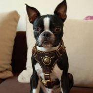 Boston Terrier Harness of Nappa Padded Leather, Royal Design