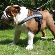 best nylon harness for english bulldog