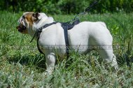 Padded Leather Dog Harness for English Bulldog Work and Training