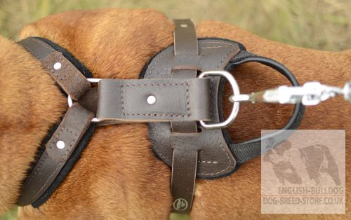 English Bulldog Harness UK