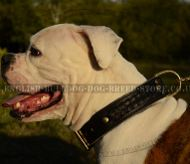 Wide Leather Dog Collar with Braids for American Bulldog
