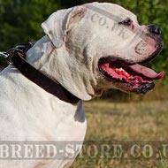 American Bulldog Collar of Strong Narrow Leather for Walking