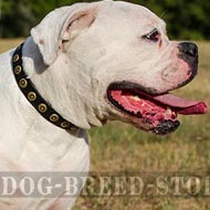 American Bulldog Collar Leather with Brass Studs for Walking