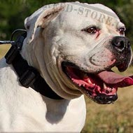 American Bulldog Collar of Nylon with Quick-Release Buckle