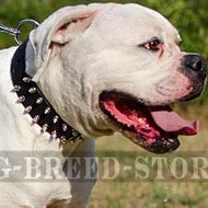 American Bulldog Collar of Spiked Leather for Walking in Style