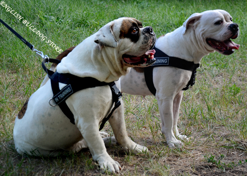American Bulldog Weight Pulling Harness UK