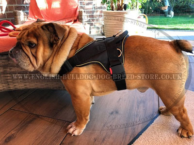 Bestseller! English Bulldog Harness of Nylon for Multitasking Use