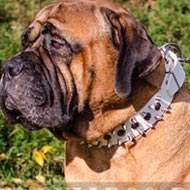 Bullmastiff Collar for Walking, Spiked and Studded White Leather