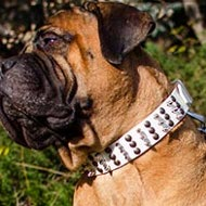 Bullmastiff Collar White Leather with Studs and Spikes Columns