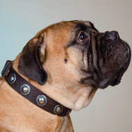 Bullmastiff Collar of Leather with Vintage Conchos, Cool Design