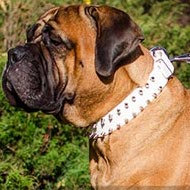 Bullmastiff Collar in White Leather with Shiny Spikes Two Rows