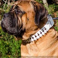 Bullmastiff Dog Collar of White Spiked and Studded Leather