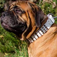 Bullmastiff Dog Collar with Cones and Spikes, Pure White Leather