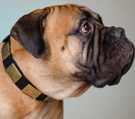 Bullmastiff Dog Collar of Fine Leather with Large Brass Plates