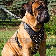 Bullmastiff Harness Leather with Brass Spikes for Walk, Training