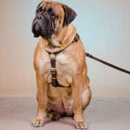 Bullmastiff Harness of Two-Ply Leather for Walking and Training