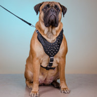 Spiked Leather Dog Harness for Bullmastiff Style and Comfort