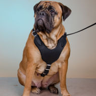 Working Dog Harness of Leather for Bullmastiff Training, Walking