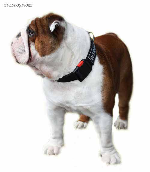 english bulldog wearing nylon collar with patches and buckle