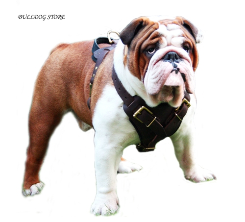 English Bulldog with Protective Leather Harness