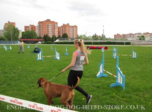 Agility Competitions for Dogs