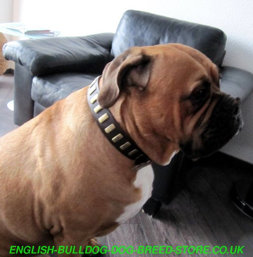 Best Collar for Bullmastiff