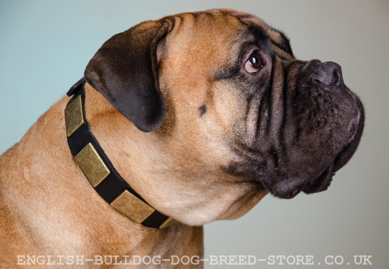 Bullmastiff Dog Collar Gorgeous