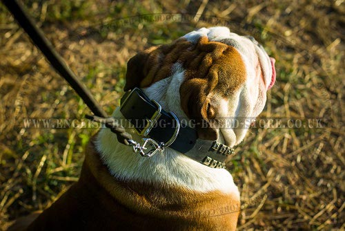 English Bulldog Collar Caterpillar