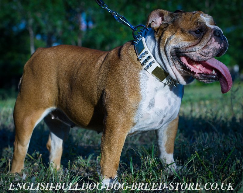English Bulldog Collar - Decorated White Leather - £80.30