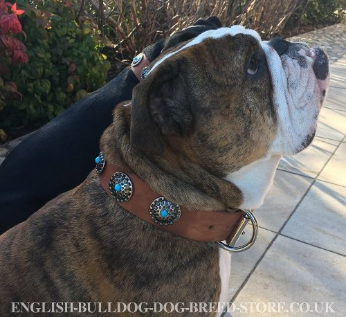 English Bulldog Collars for Sale