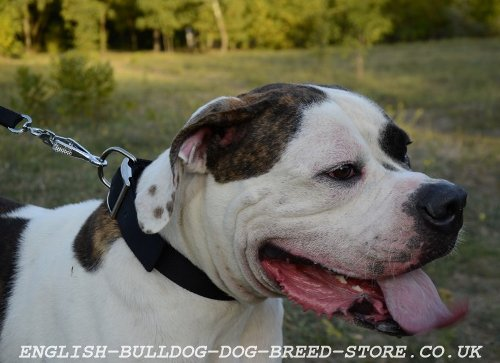 Nylon Dog Collar for American Bulldog