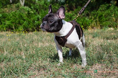 French Bulldog Harness for Sale