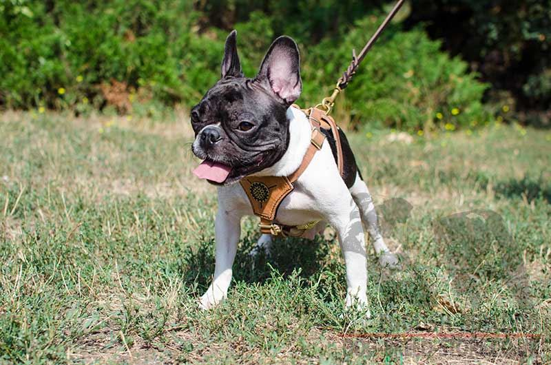 French Bulldog Harness UK